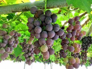 手づくり発酵ジュース教室【葡萄】 @ アティーバリビングフードアカデミー