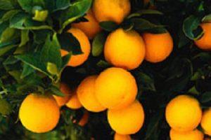 手づくり発酵ジュース教室【たんかん】2/13 @ アティーバリビングフードアカデミー